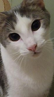 Domestic Shorthair Kitten for adoption in Valrico, Florida - Duncan