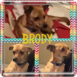 Chihuahua/Miniature Pinscher Mix Dog for adoption in KITTERY, Maine - BRODY