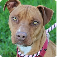 Adopt A Pet :: SHELBY:Low Fees: Spayed - Red Bluff, CA