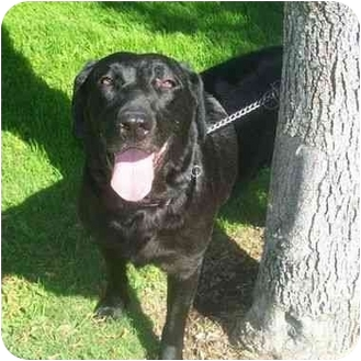 Labrador Retriever Dog for adoption in San Diego, California - CHARLOTTE