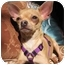 Photo 1 - Chihuahua Dog for adoption in Encino, California - HULA the Tiny Chi