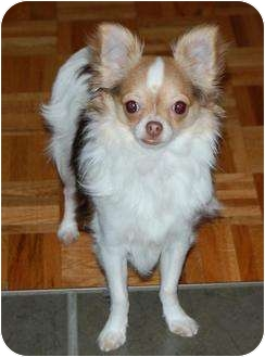 Chihuahua Puppy for adoption in Rigaud, Quebec - Quito