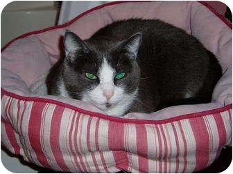 Domestic Shorthair Cat for adoption in Little Rock, Arkansas - Sissy
