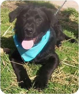 Labrador Retriever Mix Puppy for adoption in Chapel Hill, North Carolina - Wesley