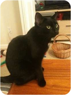 Domestic Shorthair Kitten for adoption in Sterling Hgts, Michigan - Luna