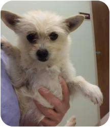 Maltese/Terrier (Unknown Type, Small) Mix Dog for adoption in Shawnee Mission, Kansas - Ginger Snap