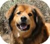 Chow Chow/Labrador Retriever Mix Dog for adoption in Portola, California - Cooper