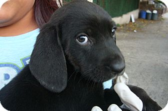 Beagle/Labrador Retriever Mix Puppy for adoption in Brooklyn, New York - JUICY JANEY