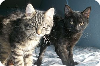 Domestic Shorthair Kitten for adoption in McIntosh, New Mexico - Wesley and Wayne