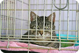 Domestic Shorthair Cat for adoption in Bedford, Virginia - Tabitha
