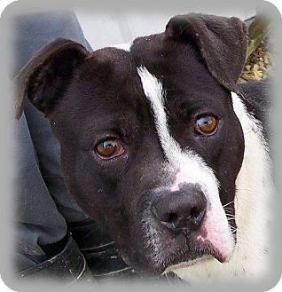 American Pit Bull Terrier/American Bulldog Mix Dog for adoption in Metamora, Indiana - Carlson