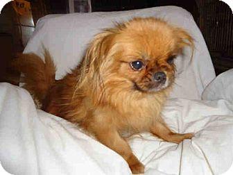 Pekingese Mix Dog for adoption in Vansant, Virginia - Tinkerbell