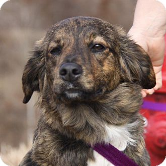Shepherd (Unknown Type)/Collie Mix Dog for adoption in Orland Park, Illinois - Maize
