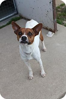 Jack Russell Terrier/Terrier (Unknown Type, Medium) Mix Dog for adoption in Sugar Land, Texas - PJ