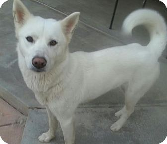 Jindo Dog for adoption in Apple valley, California - Kara