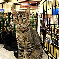 Adopt A Pet :: Manfred - The Colony, TX