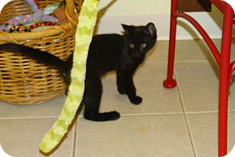 Domestic Shorthair Kitten for adoption in Elyria, Ohio - Mickey