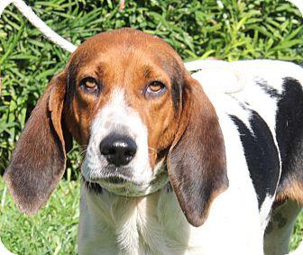 Hound (Unknown Type) Mix Dog for adoption in Daytona Beach, Florida - Brantly