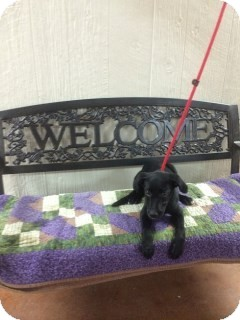 Labrador Retriever Mix Puppy for adoption in East Hartford, Connecticut - Libby-in CT