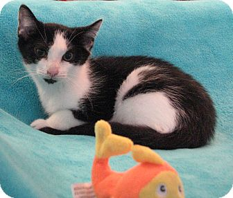 Domestic Shorthair Kitten for adoption in Wayne, New Jersey - Rosetta
