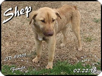 German Shepherd Dog/Golden Retriever Mix Dog for adoption in Corinth, Mississippi - Shep