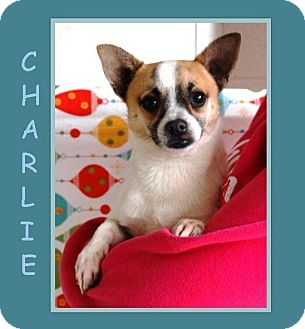 Chihuahua/Jack Russell Terrier Mix Dog for adoption in Dallas, North Carolina - CHARLIE