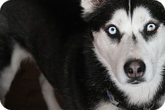 Siberian Husky Mix Dog for adoption in Divide, Colorado - Meehka