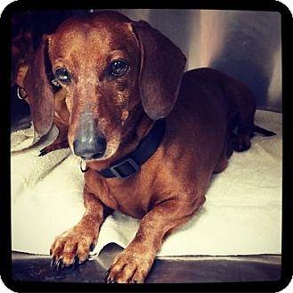 Dachshund Mix Dog for adoption in Grand Bay, Alabama - Bennie
