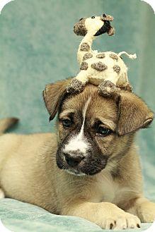 Akita/Shepherd (Unknown Type) Mix Puppy for adoption in Marietta, Georgia - Sunshine