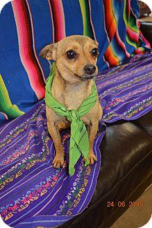 Chihuahua Dog for adoption in Boston, Massachusetts - Petey