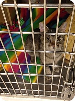 Domestic Shorthair Cat for adoption in Muncie, Indiana - Bennie