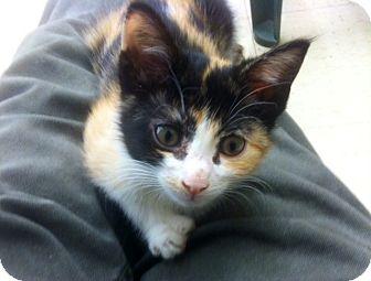 Calico Kitten for adoption in Warren, Ohio - Doe