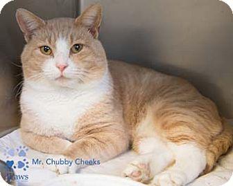Domestic Shorthair Cat for adoption in Merrifield, Virginia - Mr. Chubby Cheeks