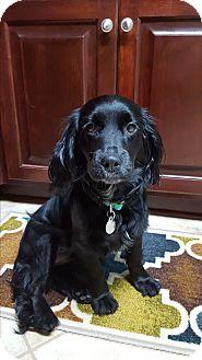 Spaniel (Unknown Type) Mix Dog for adoption in Homewood, Alabama - Willow