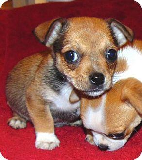 Pug Mix Puppy for adoption in Olympia, Washington - Milo