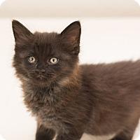 Adopt A Pet :: Smudge - Fountain Hills, AZ