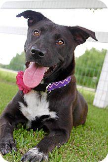Labrador Retriever/Border Collie Mix Dog for adoption in Hartford, Connecticut - Khaleesi