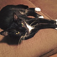 Domestic Mediumhair Cat for adoption in Burlington, North Carolina - OREO