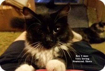 Siberian Kitten for adoption in Corona, California - SEAVER