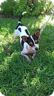 Chihuahua Dog for adoption in San Diego, California - Pili