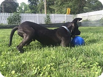 Great Dane/Mastiff Mix Dog for adoption in Springfield, Illinois - Bentley