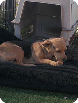 Shepherd (Unknown Type) Mix Dog for adoption in San Pablo, California - FRANNY