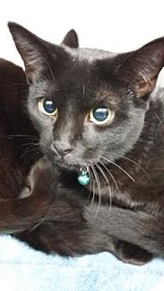 Domestic Shorthair Kitten for adoption in Paducah, Kentucky - Missy