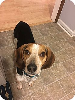 Beagle Mix Dog for adoption in Homewood, Alabama - Scout