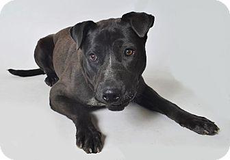 Pit Bull Terrier/Australian Cattle Dog Mix Dog for adoption in Fruit Heights, Utah - Starla