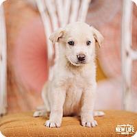 Adopt A Pet :: Wolfgang - Portland, OR