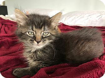 Domestic Longhair Kitten for adoption in Highland Park, New Jersey - Untouchable
