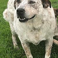 Adopt A Pet :: Shannon—Foster or Adopt - Kirkland, WA