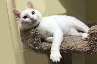 Domestic Shorthair/Domestic Shorthair Mix Cat for adoption in Voorhees, New Jersey - Juno