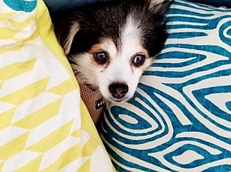 Pomeranian Dog for adoption in Dallas, Texas - Wish